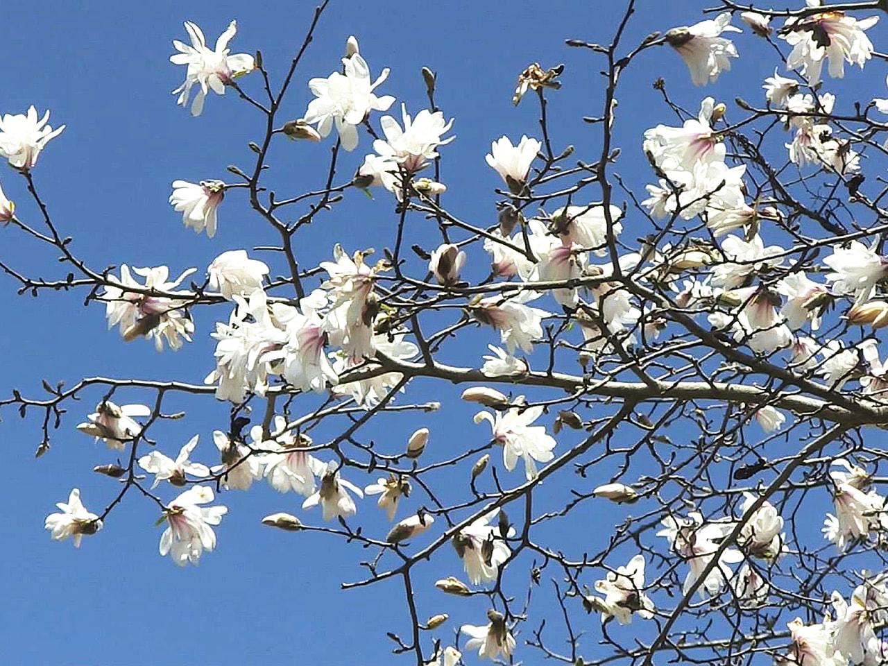 白や淡いピンクの花を咲かせて「生きた化石」と呼ばれるシデコブシが、岐阜県中津川市...