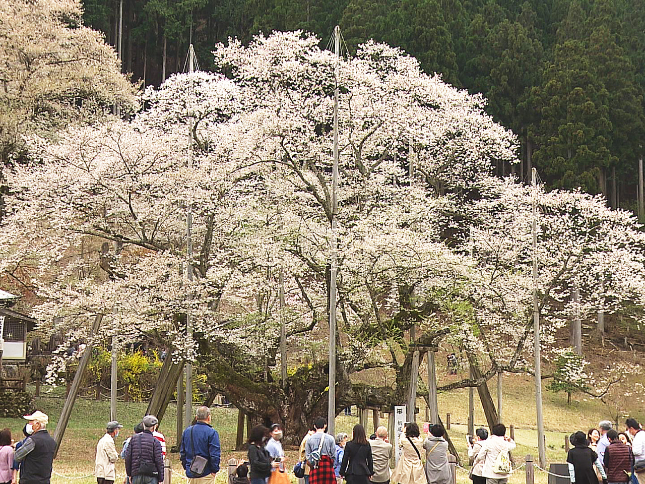 日本三大桜の一つに数えられる岐阜県本巣市の国天然記念物、淡墨桜が満開です。 一方...