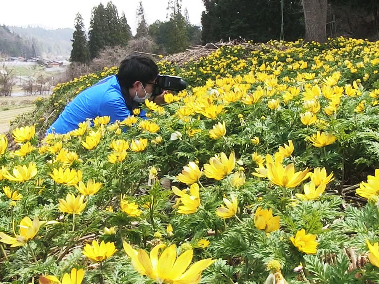 飛騨に春を告げるフクジュソウの黄色い花が、岐阜県高山市の群生地で見頃を迎えていま...