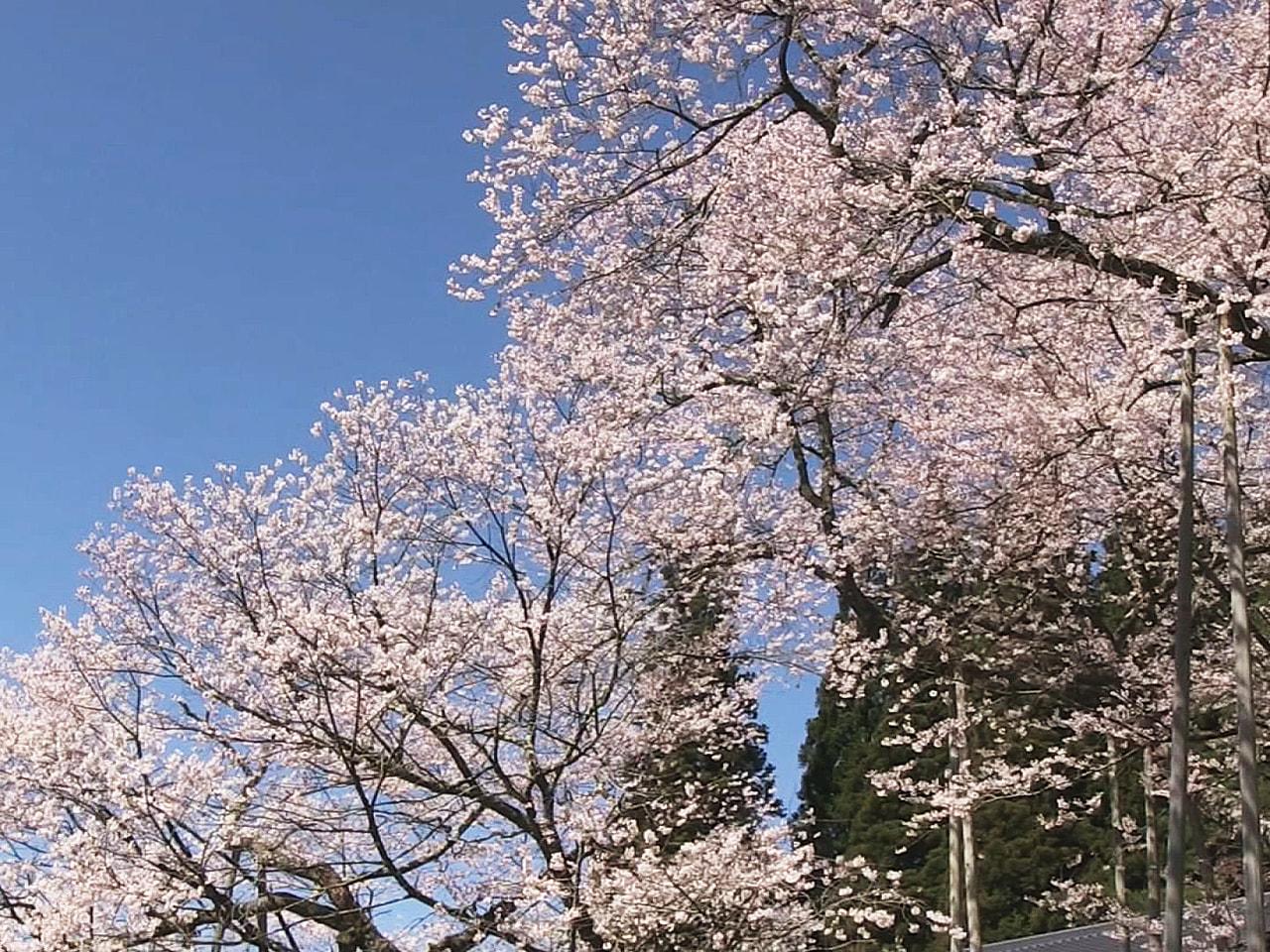 岐阜県高山市一之宮町の国の天然記念物「臥龍桜(がりゅうざくら)」が見頃を迎えまし...
