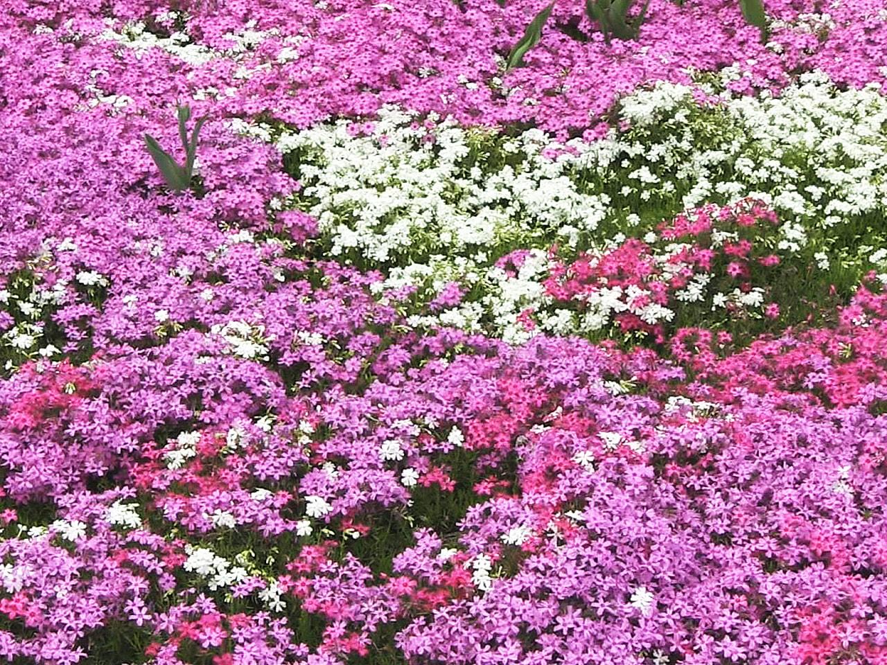 岐阜県中津川市でシバザクラが見ごろを迎えています。 暖かい日が続き、例年より1週...