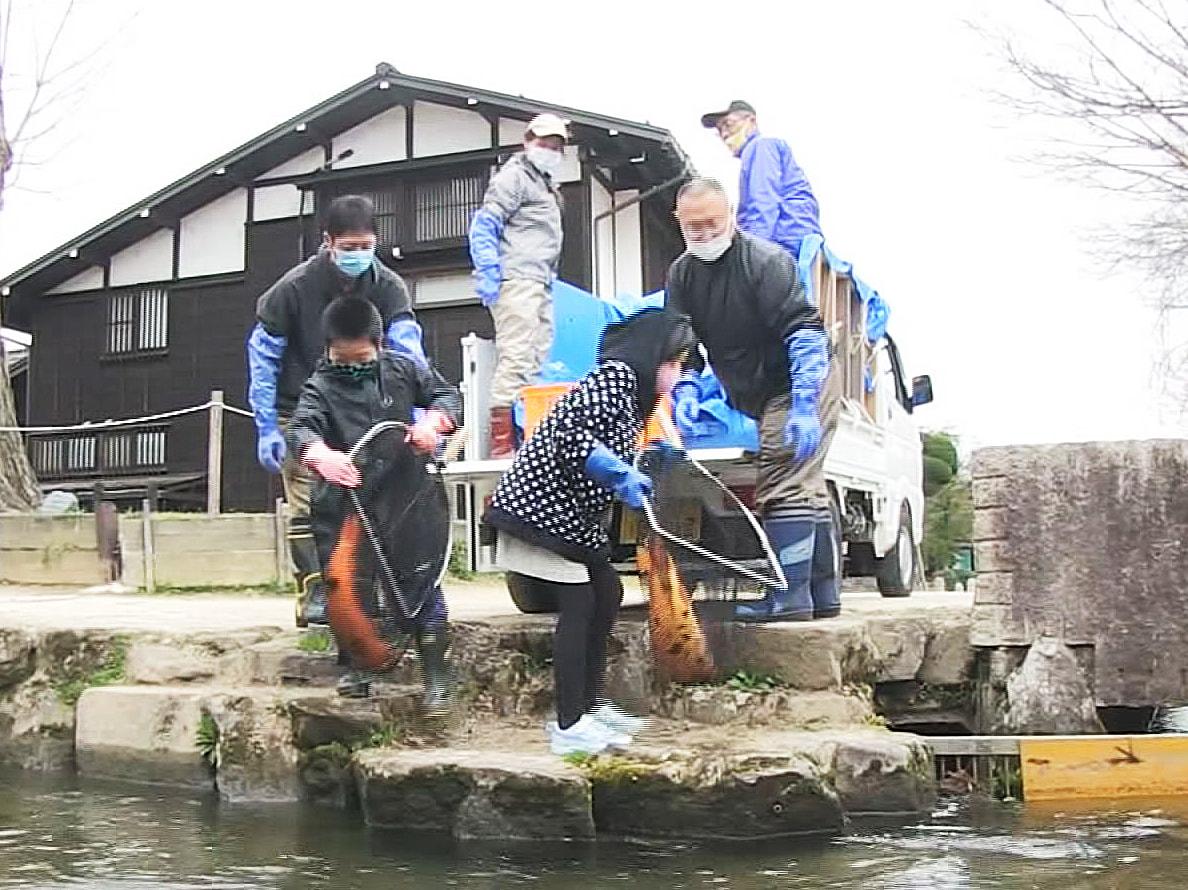 岐阜県飛騨市古川町の観光スポット白壁の土蔵沿いに流れる瀬戸川に、冬の間、近くの池...