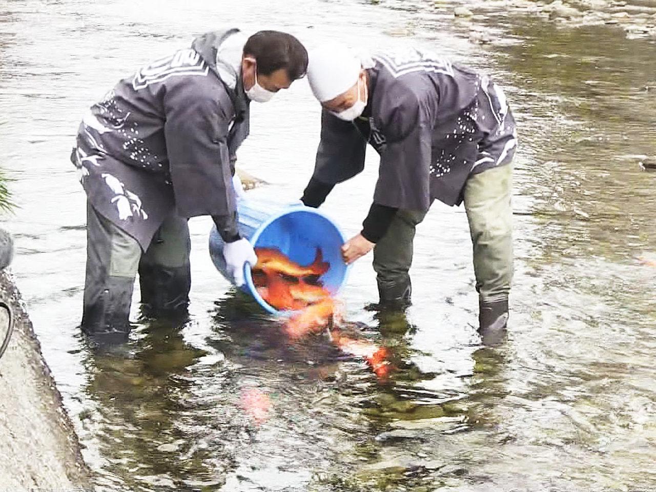 14日に開幕する「春の高山祭」を前に、岐阜県高山市内を流れる宮川にコイが放流され...