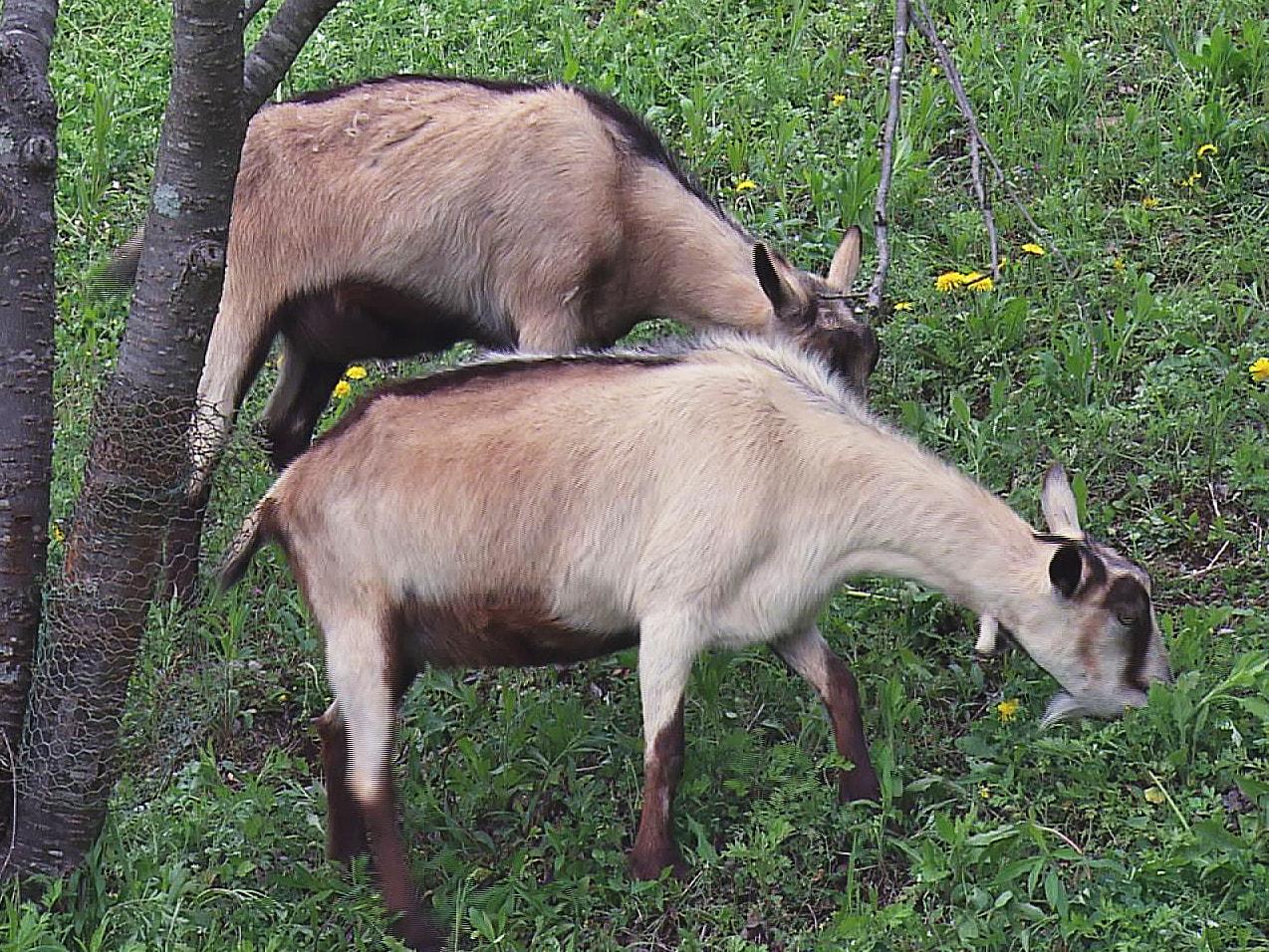 岐阜県美濃加茂市で、市民から親しみを込めて「ヤギさん除草隊」と呼ばれている公園な...