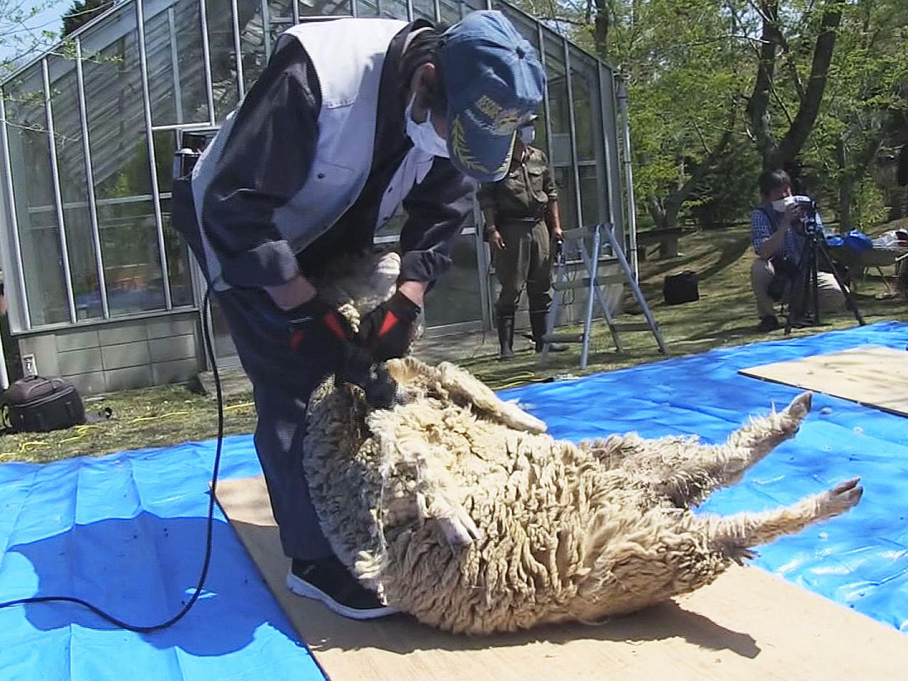岐阜県土岐市の陶史の森では21日、飼育されている羊がこの1年で伸びた毛を刈っても...
