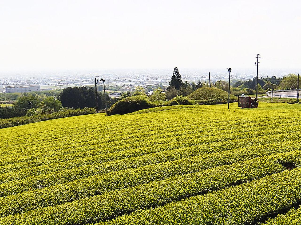 「美濃いび茶」の産地として知られる岐阜県池田町で23日、県内で最も早い新茶の初摘...