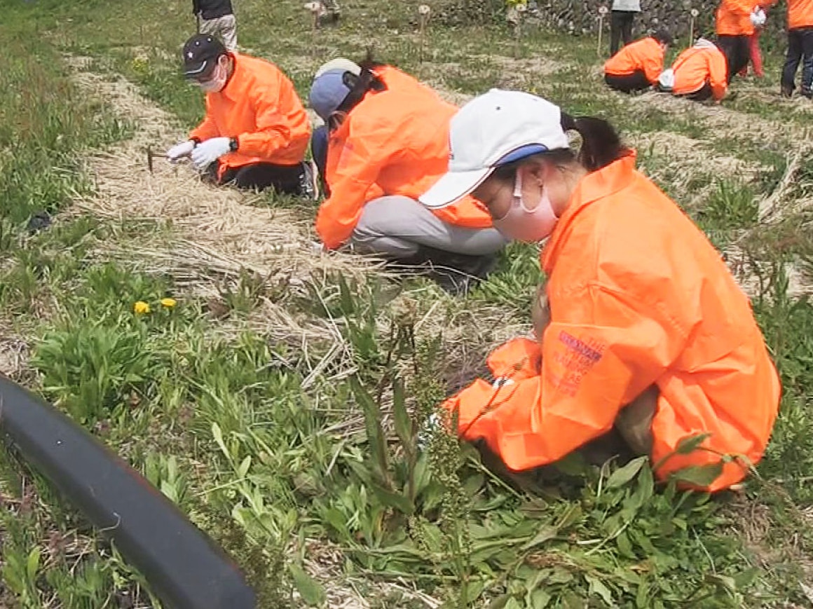 岐阜県飛騨市宮川町の種蔵地域で、かつて盛んだったミョウガ栽培を復活させて農村の原...