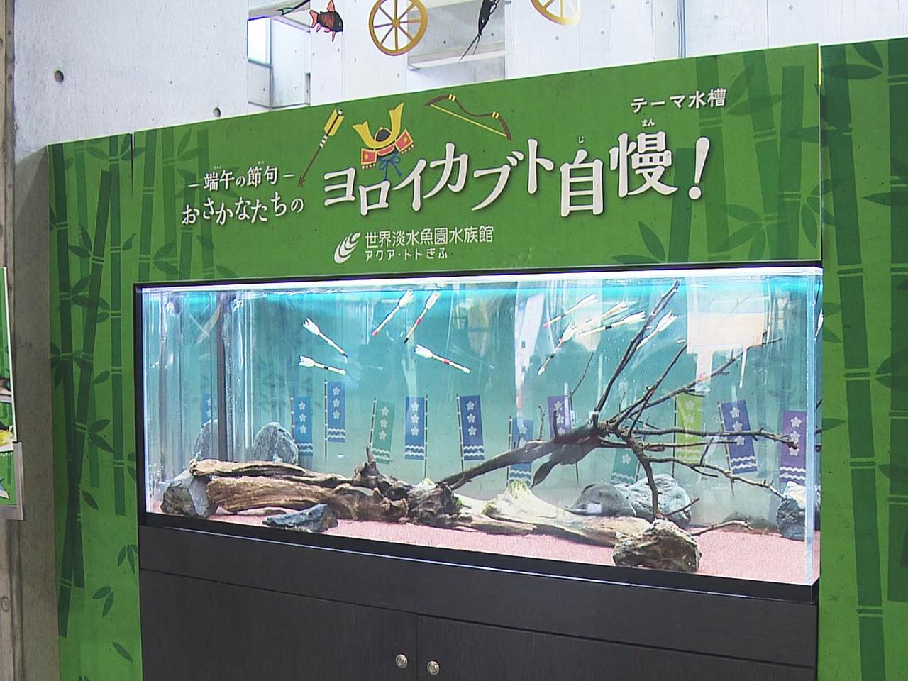 5月5日の端午の節句を前に、岐阜県各務原市の水族館では、よろいやかぶとを連想させ...