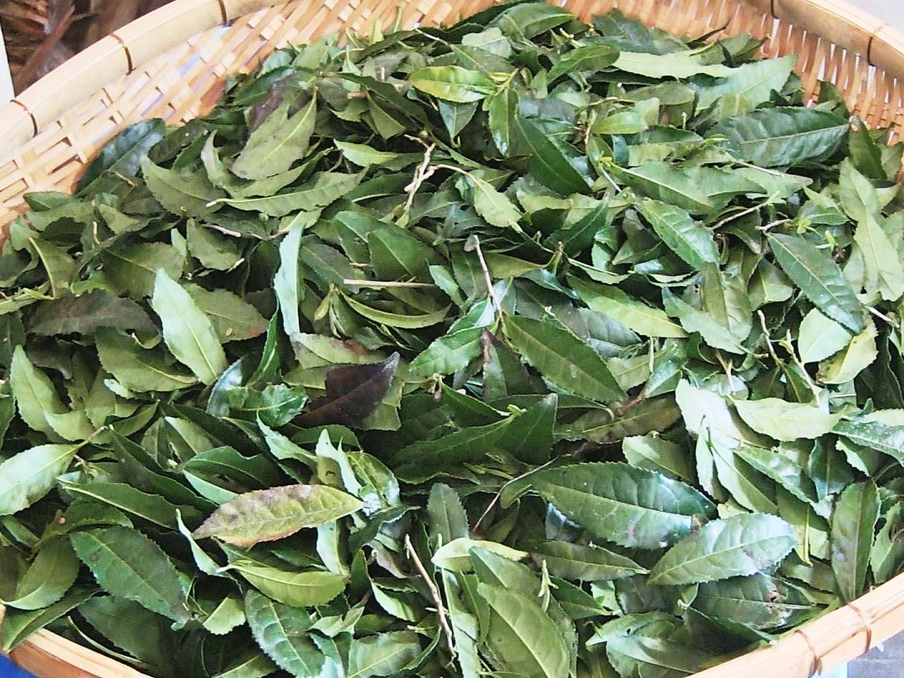 岐阜県加茂郡七宗町では、3年以上生育させたお茶の木の茎や葉ごと砕いて焙煎(ばいせ...