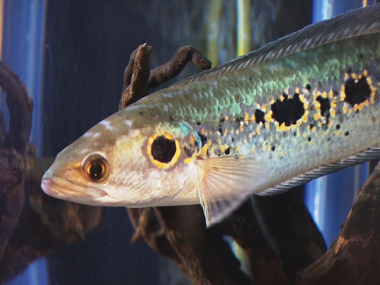 細長い体にヘビのような頭をもつ魚「スネークヘッド」を集めた企画展が、岐阜県各務原...