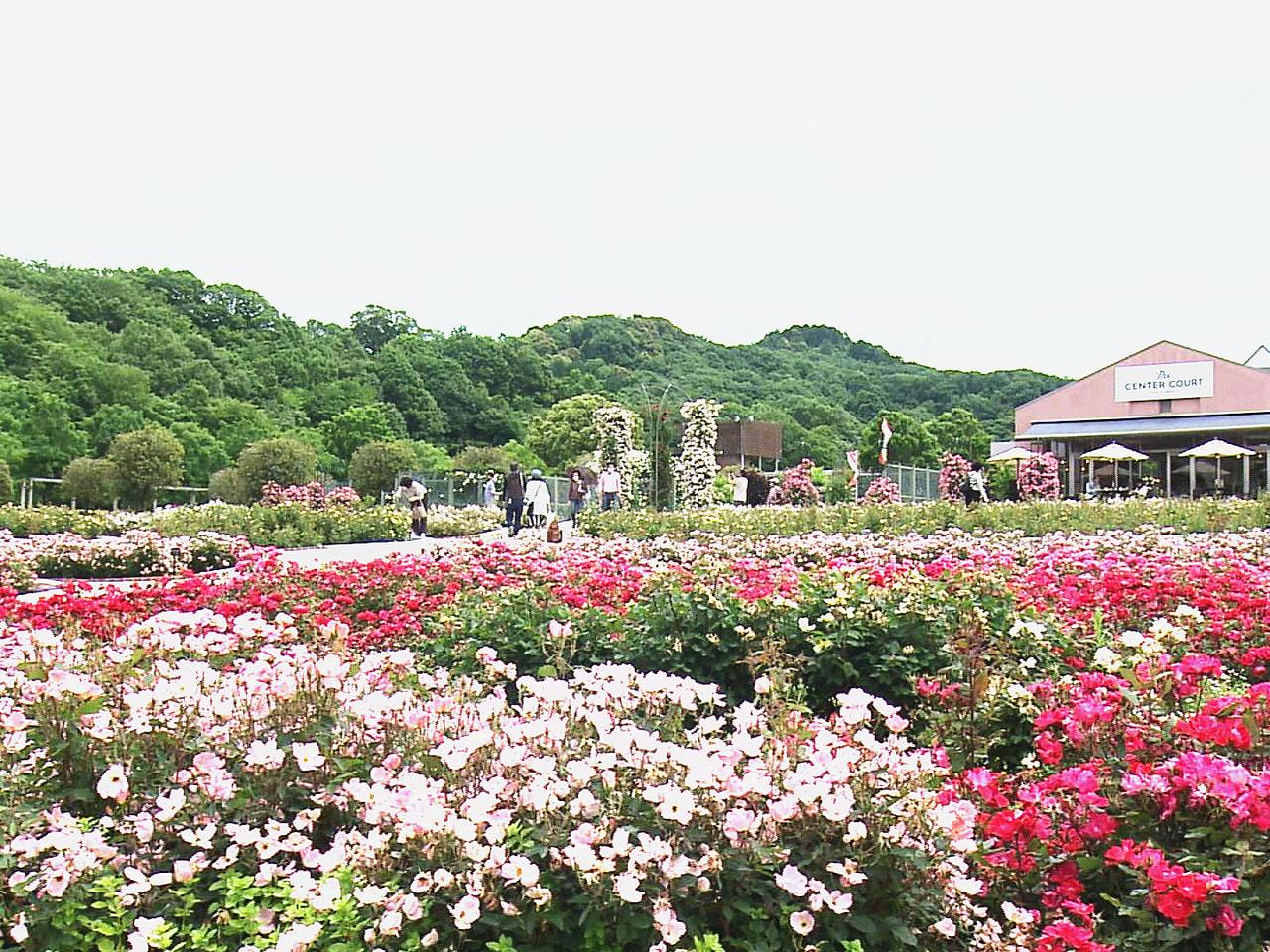 世界最大級のバラ園として親しまれる岐阜県可児市の県営都市公園「花フェスタ記念公園...