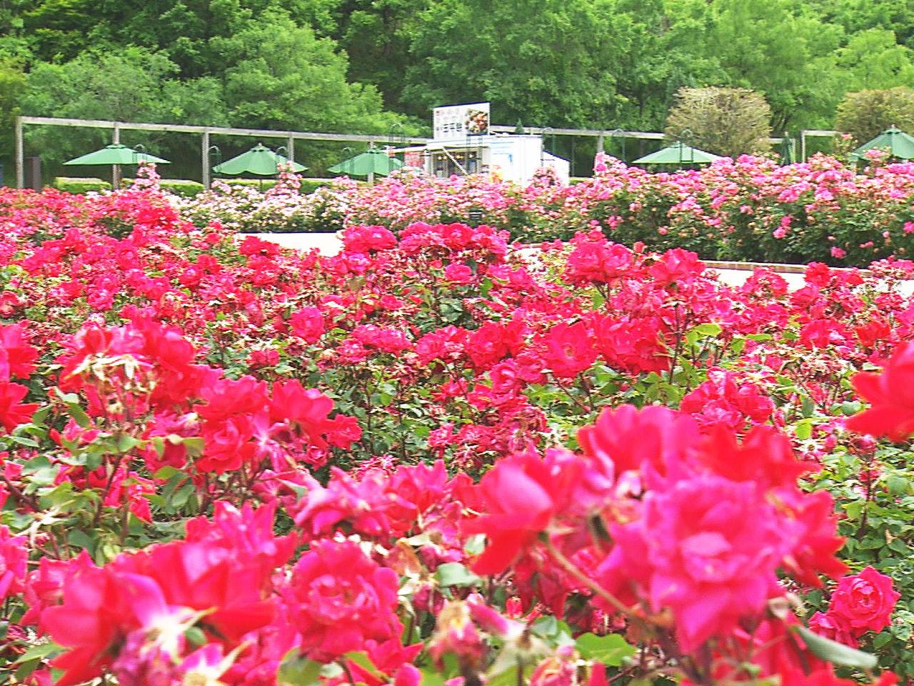 岐阜県可児市の花フェスタ記念公園では、色とりどりのバラが見頃を迎えています。 バ...