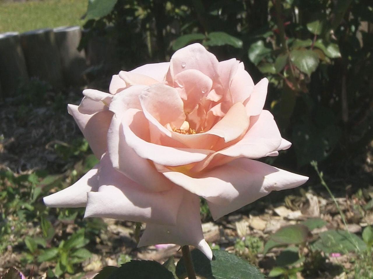 岐阜県飛騨市で色とりどりのバラが咲き誇るバラ園がオープンしました。 飛騨市河合町...