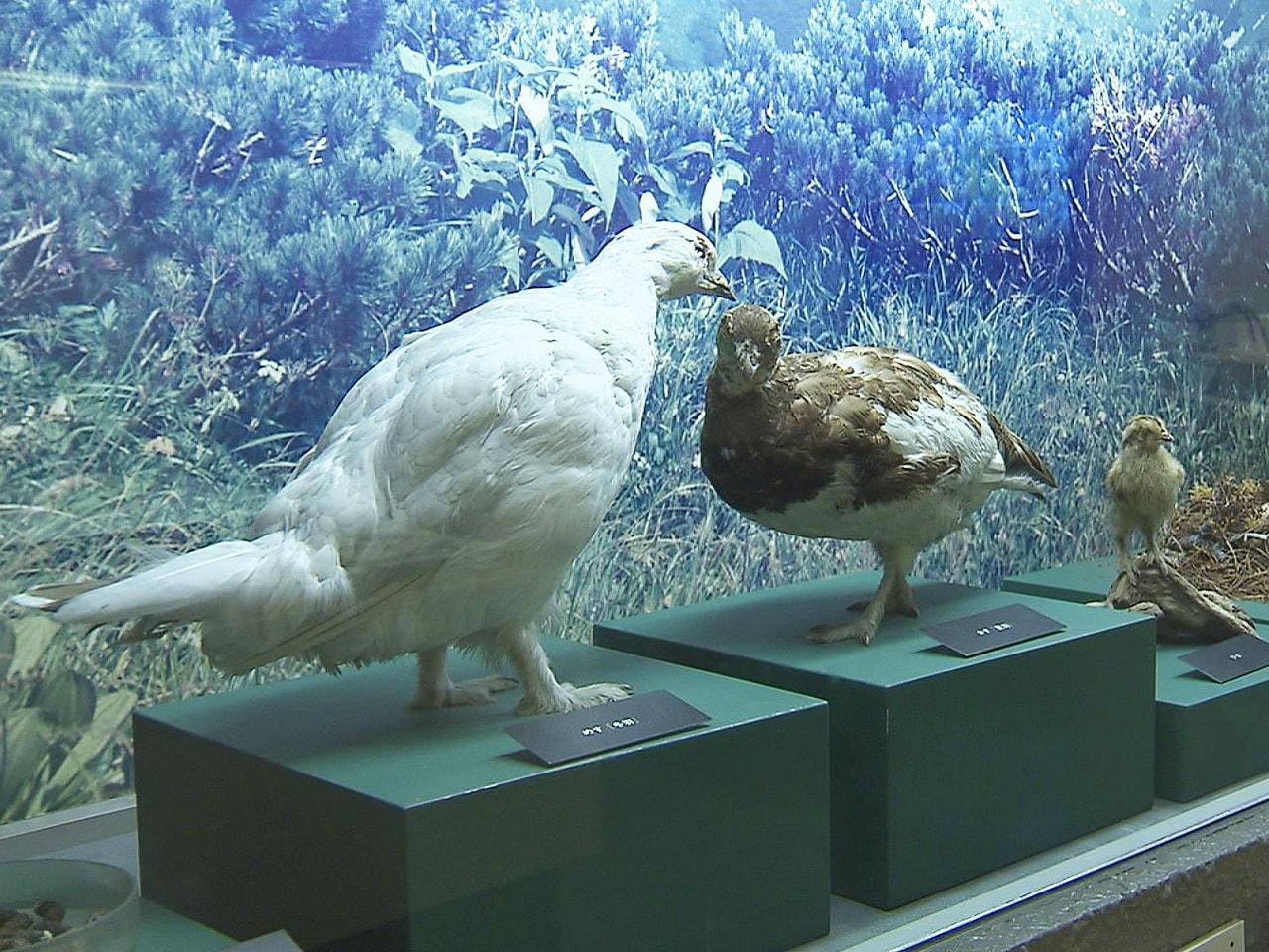国の特別天然記念物で岐阜県の鳥でもある「ライチョウ」をテーマにした企画展が、岐阜...
