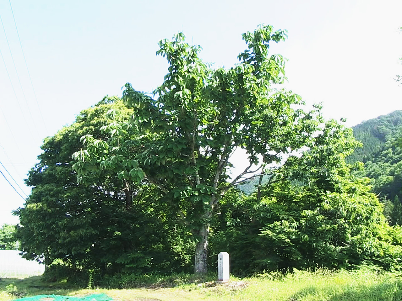釣り鐘のような珍しい葉「フクロホウバ」が、今年も岐阜県高山市清見町で見つかりまし...