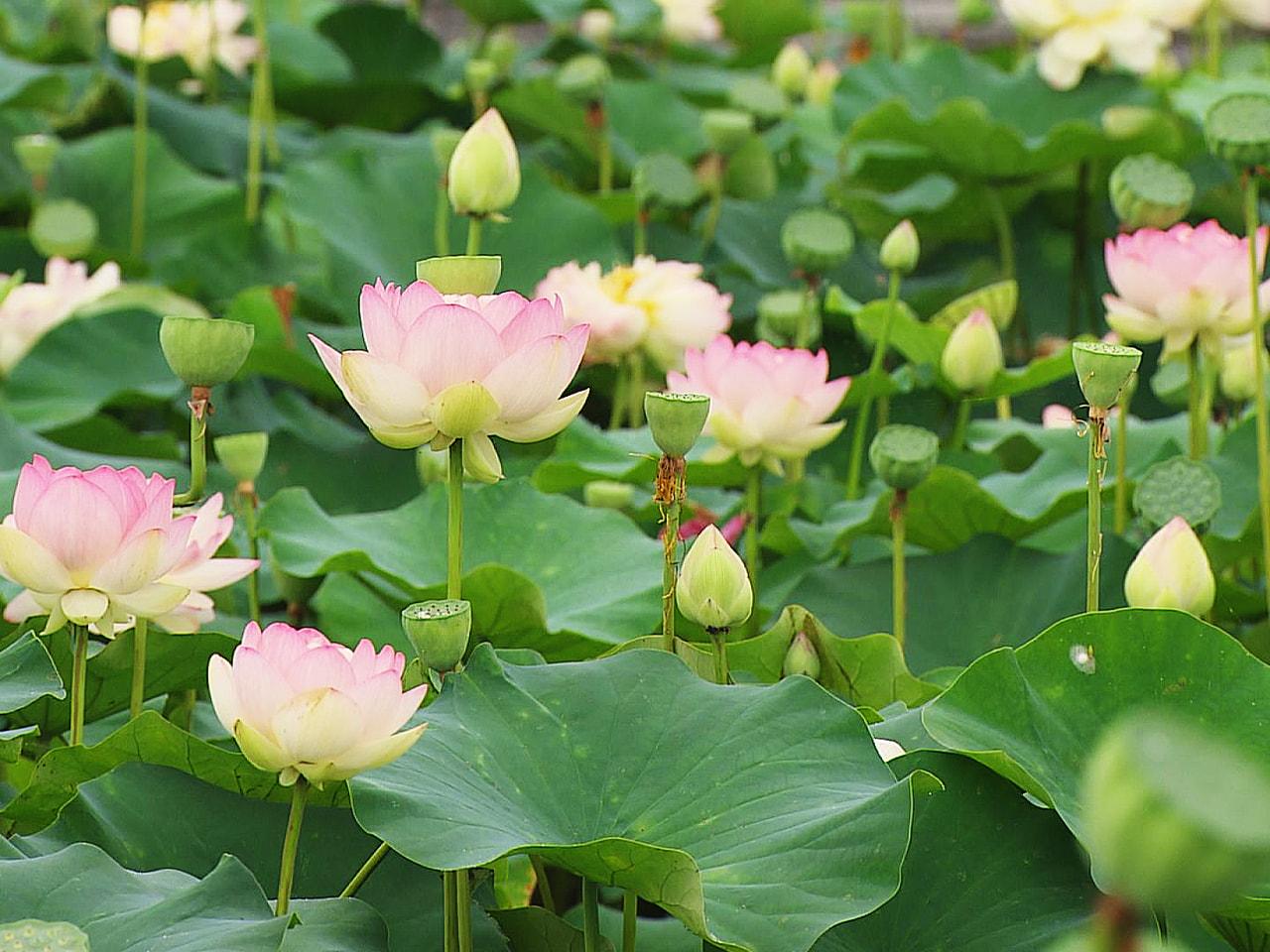 岐阜県大垣市のハス池で、鮮やかなピンク色のハスの花が見頃を迎えています。 大垣市...