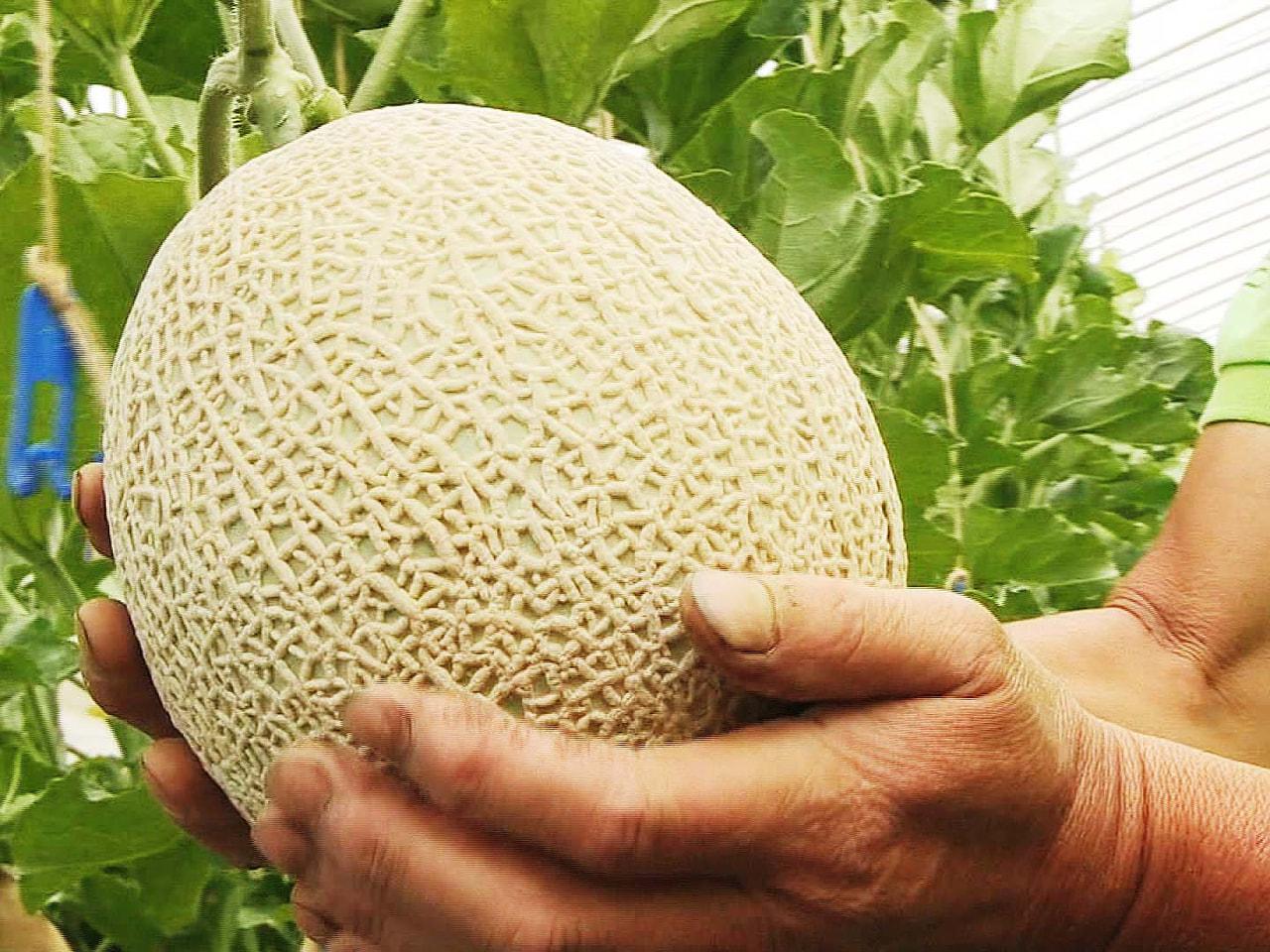 岐阜県高山市で夏の特産品であり、お中元としても人気が高い飛騨メロンの収穫が始まり...