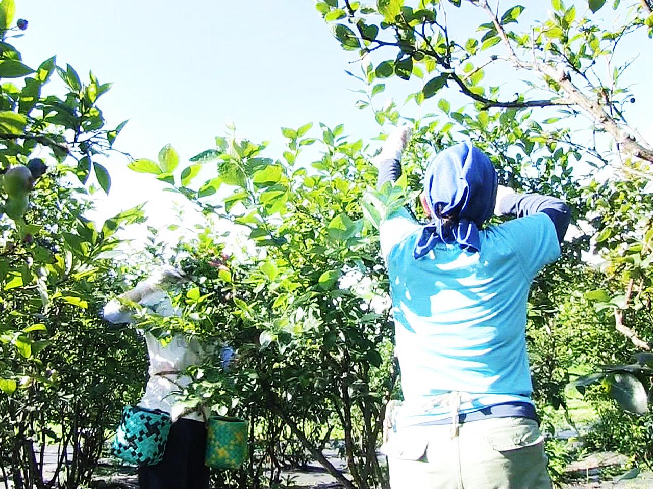 岐阜県高山市内で、寒暖差を生かして栽培する果物や夏野菜の収穫がピークを迎えていま...