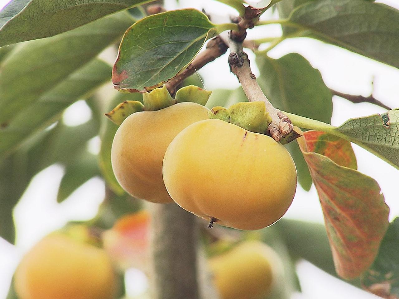直径約3センチの小さな柿「ベビーパーシモン」の出荷が、岐阜県本巣市の農家で始まっ...