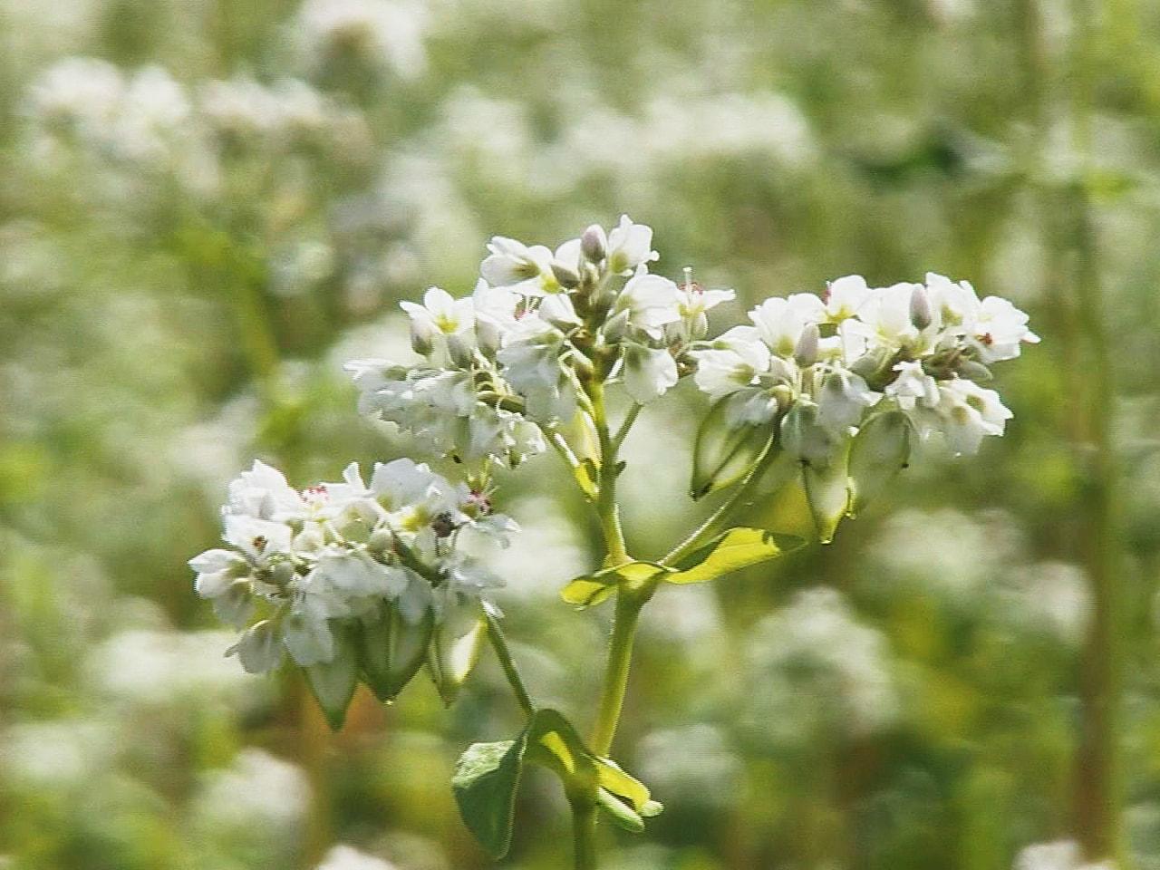 岐阜県高山市でソバの花が見ごろを迎え、畑一面に真っ白な美しい風景が広がっています...