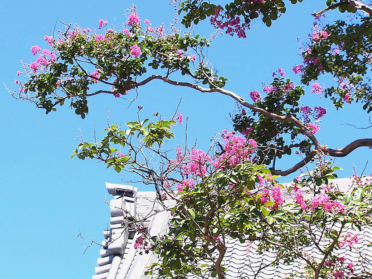 岐阜市の寺で、サルスベリの花が見ごろを迎え訪れた人の目を楽しませています。 鮮や...
