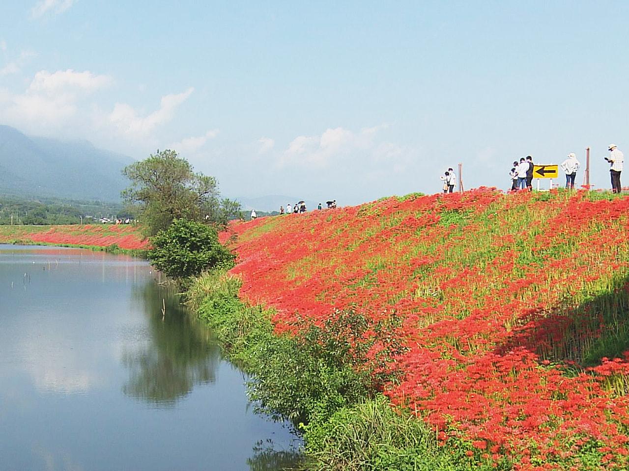 9月23日は秋分の日、彼岸の中日です。 岐阜県海津市の堤防沿いではヒガンバナが真...