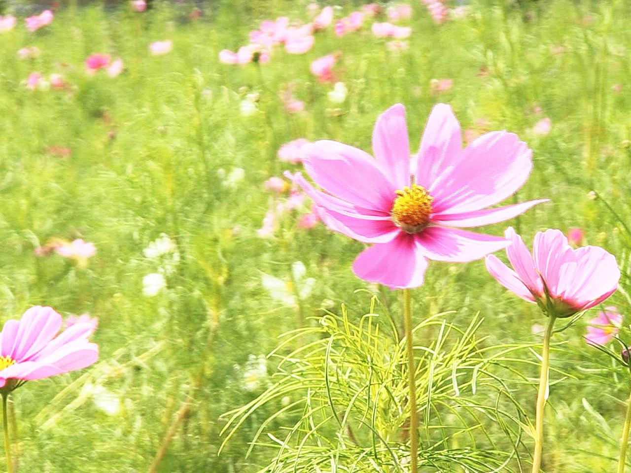 秋の訪れを告げるピンクや白のコスモスが岐阜市の畑で咲きそろい、見頃を迎えています...