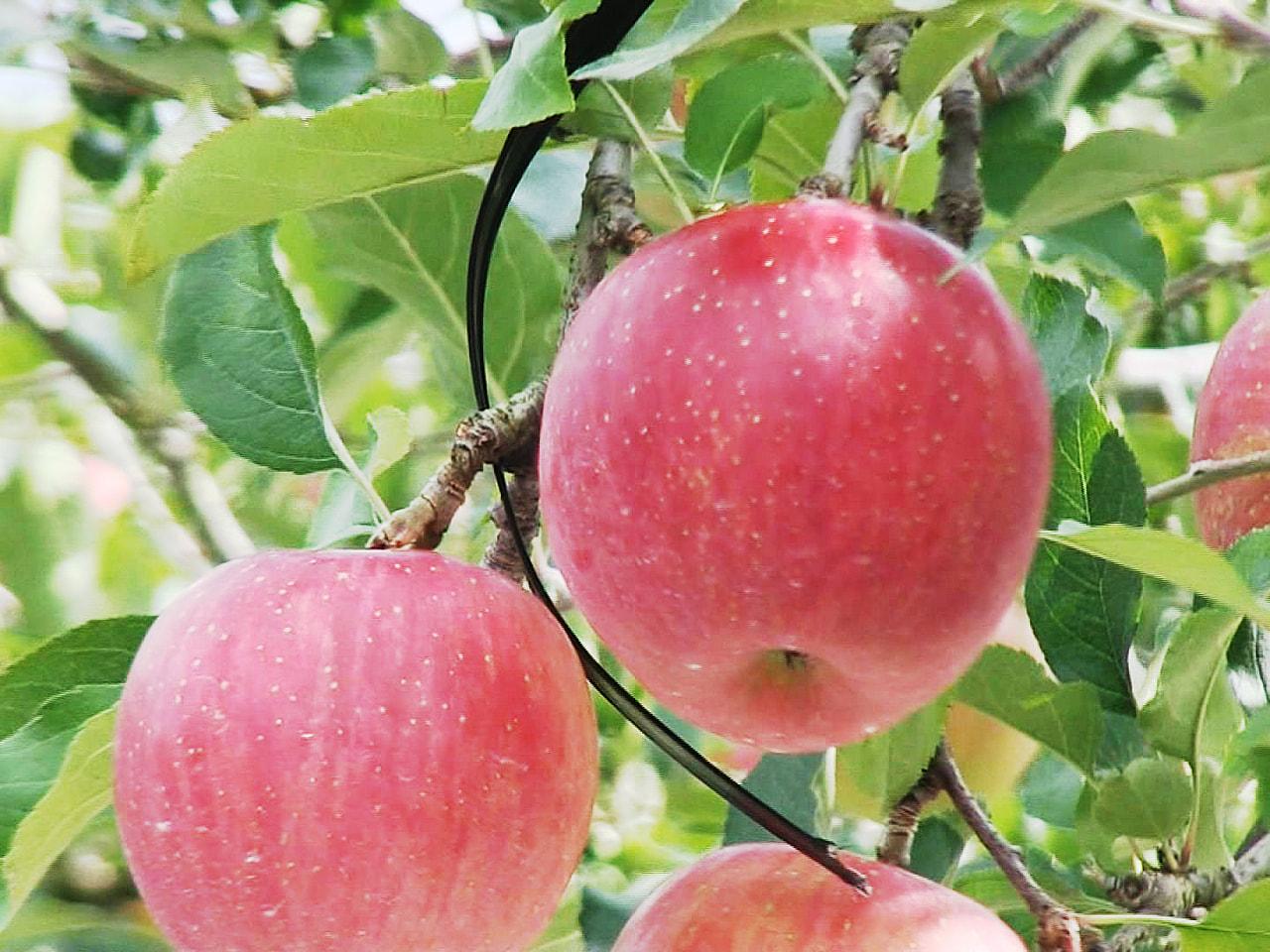 飛騨の秋の味覚を代表するリンゴの収穫作業が、岐阜県高山市で始まっています。 高山...